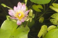 Fleur de lotus rose Photos stock