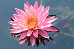 Fleur de lotus rose Photo stock