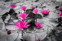 Fleur de lotus rose Image libre de droits