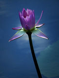 Fleur de Lotus rose avec de l'eau bleu Photographie stock