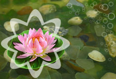Fleur de lotus rose avec des bulles Image stock