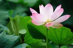Fleur de lotus rose avec la cosse de graine Images libres de droits