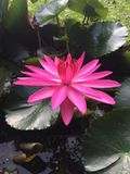 Fleur de lotus rose dans l'étang comme fond Photos stock