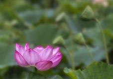 Fleur de lotus rose dans le jardin Photos libres de droits