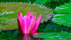 Fleur de lotus rose dans les feuilles vertes environnantes d'?tang image libre de droits
