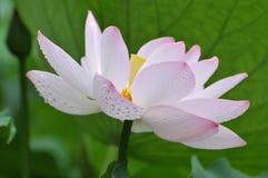 Fleur de lotus rose de fleur Images stock