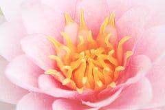 Fleur de lotus rose de pétale Photos stock