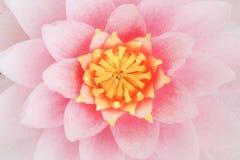 Fleur de lotus rose de pétale Image stock