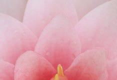 Fleur de lotus rose de pétale Photos libres de droits