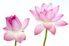 Fleur de lotus rose et fond blanc. Image libre de droits