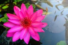 Fleur de lotus rose fleurissant sur l'eau dans le jardin Photo libre de droits