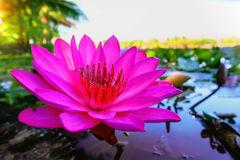 Fleur de lotus rose fleurissant sur l'eau dans le jardin Image stock