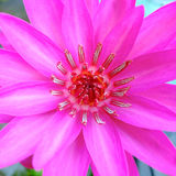 Fleur de lotus rose fleurissant sur l'eau dans le jardin Images libres de droits