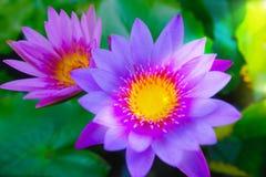 Fleur de lotus rose fleurissant sur l'eau dans le jardin Photos libres de droits