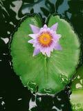 Fleur de lotus rose fleurissant sur la feuille de Lotus, Thaïlande en parc Image stock