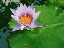 Fleur de lotus rose fleurissant sur la feuille de Lotus, Thaïlande en parc Photos stock