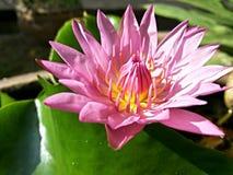 Fleur de lotus rouge Image libre de droits