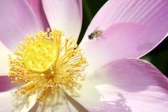 Fleur de lotus sacré Photo libre de droits