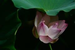 Fleur de Lotus sous la feuille Image libre de droits