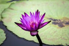 Fleur de Lotus Thaïlande de floraison en parc Photographie stock libre de droits