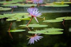 Fleur de Lotus Thaïlande de floraison en parc Images libres de droits