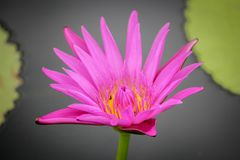 Fleur de Lotus Thaïlande de floraison en parc Photo stock