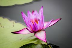 Fleur de Lotus Thaïlande de floraison en parc Images stock