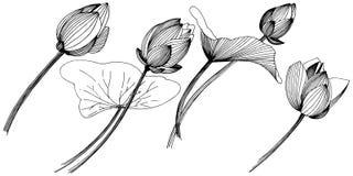 Fleur de lotus de vecteur Fleur botanique florale Élément d'isolement d'illustration Illustration Stock