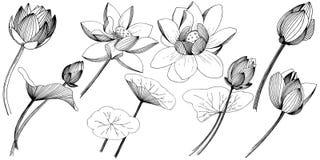 Fleur de lotus de vecteur Fleur botanique florale Élément d'isolement d'illustration Illustration Libre de Droits