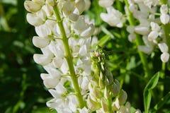 Fleur de loup blanche fleurissant dans le pré images libres de droits