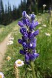 Fleur de loup bleue le long d'un sentier de randonnée Photographie stock libre de droits