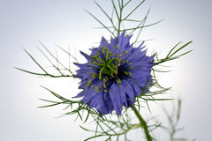 Fleur de Love-in-a-mist (damascena de Nigella) Photos libres de droits