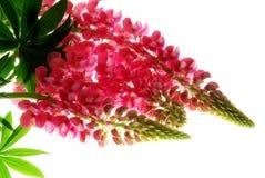 Fleur de lupin Photographie stock