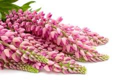 Fleur de lupin Photographie stock libre de droits