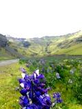 Fleur de lupin Photos libres de droits