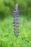 Fleur de Lupine Image libre de droits
