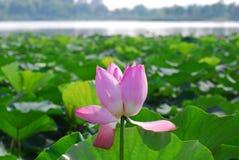 Fleur de Lutos dans le lac de yunlong de la porcelaine images stock