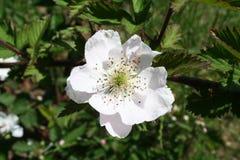 Fleur de mûre Image stock