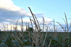 Fleur de maïs Photos stock