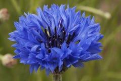 Fleur de maïs, bleu, cyanus de Centaurea Une mauvaise herbe photographie stock