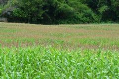 Fleur de maïs de champ de maïs Photo stock