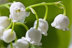Fleur de macro du muguet Photo libre de droits