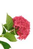 Fleur de macrophylla de Hydrangea d'isolement sur le blanc Images stock