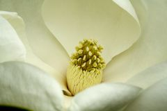 Fleur de magnolia image libre de droits