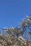 Fleur de magnolia avec le bâtiment du verre et l'acier, la lumière du soleil et le ciel bleu Images libres de droits