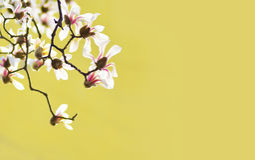 Fleur de magnolia avec le fond jaune Photo libre de droits