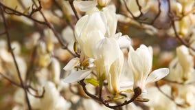 Fleur de magnolia avec les pétales blancs banque de vidéos