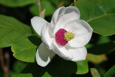 Fleur de magnolia dans la fin vers le haut de la vue Image libre de droits