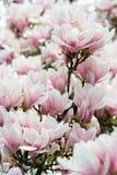 Fleur de magnolia de groupe photographie stock