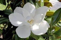 Fleur de magnolia du sud image libre de droits